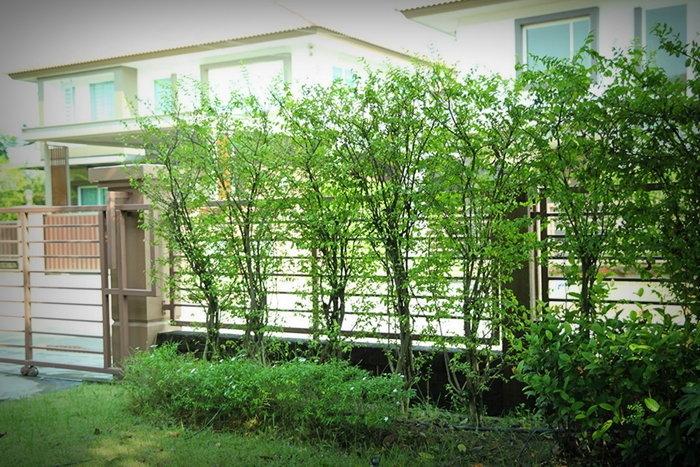 ต้นไม้แต่งรั้วบ้าน